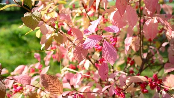 Thumbnail for Euonymus In The Autumn Coloring Of Foliage