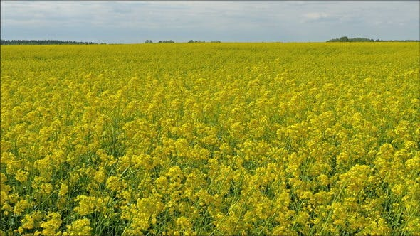 Un vaste champ de l'usine de Brassica Napus