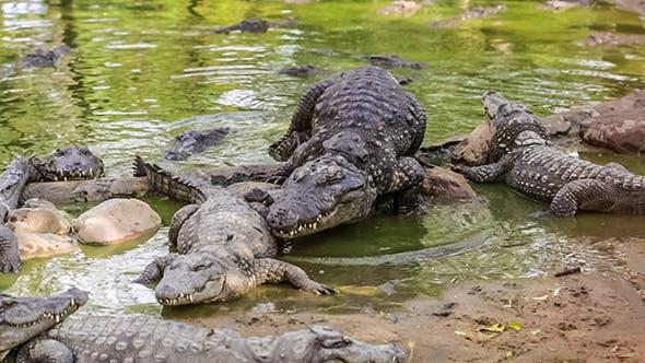 Thumbnail for Mating Crocodiles India