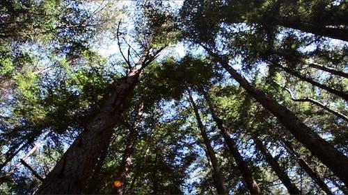 Pines 3