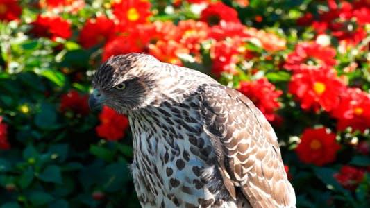 Thumbnail for Falcon