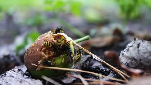 Wildlife Swarm Wasps Eat Rotten Pear Or Apple