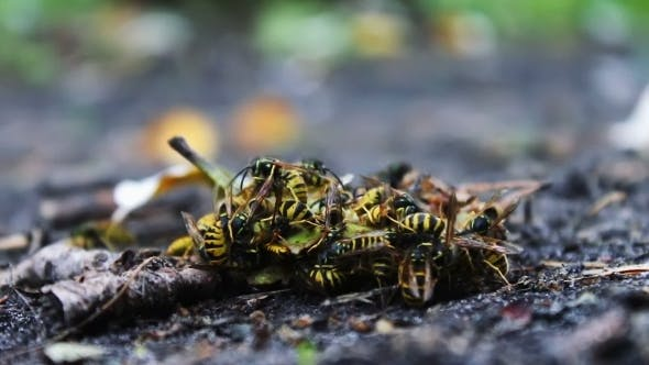 Thumbnail for Wildlife Swarm Wasps Eat Rotten Pear Or Apple On