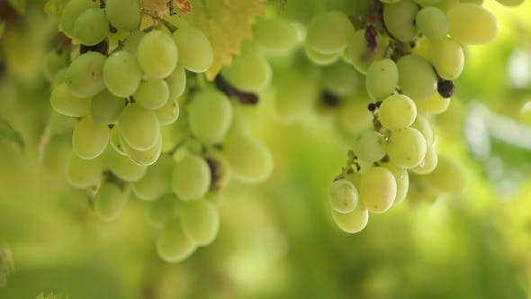 Thumbnail for Fresh Bunches Of Green Grapes In The Rain