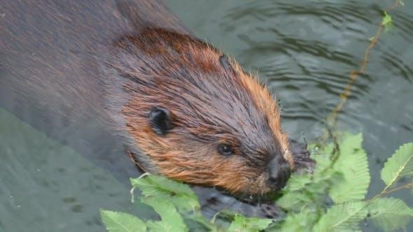 Thumbnail for Beaver