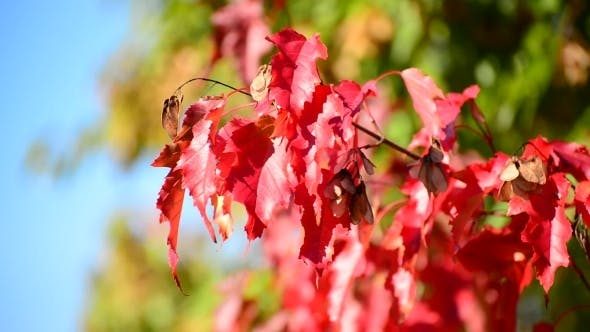 Thumbnail for Beautiful Autumn Maple Leaves On  Sunny Day