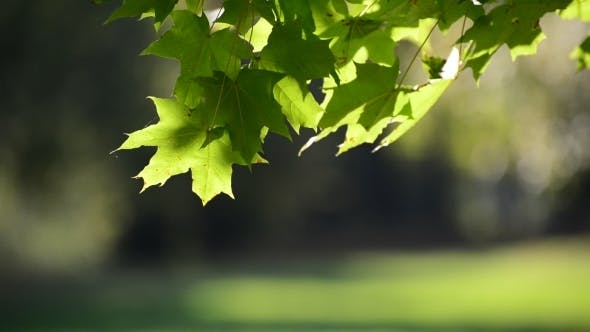 Thumbnail for Summer Maple Leaves On Sunny Day