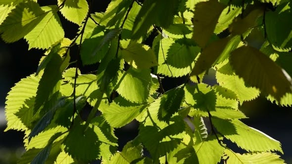 Thumbnail for Elm Leaves In The Wind On  Sunny Day