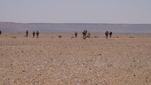Herd dromedary camels
