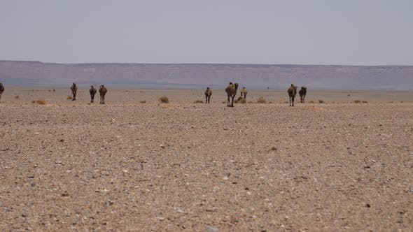 Thumbnail for Herd dromedary camels