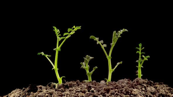 Thumbnail for Chickpeas Seeds Germination on Black Background
