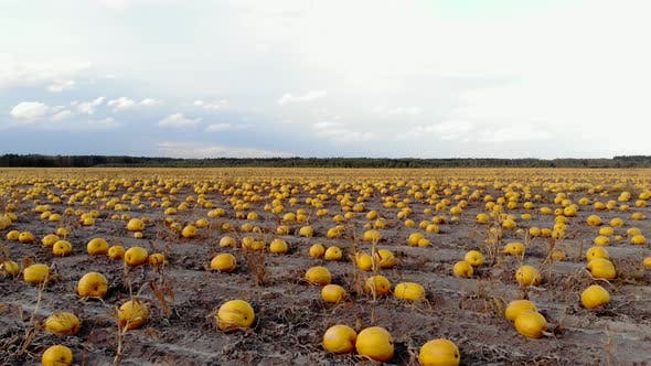 Thumbnail for Aerial View Ripened Pumpkins Lie on Ground in Field, Drone Shot