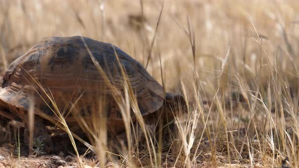Thumbnail for Moroccan tortoise walks away in Morocco