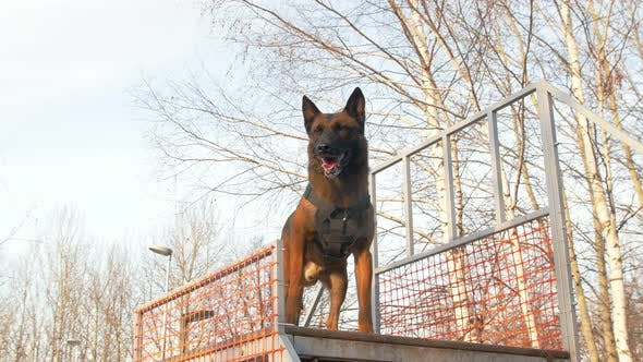 Thumbnail for Trained German Shepherd Dog on the Stand on the Playground