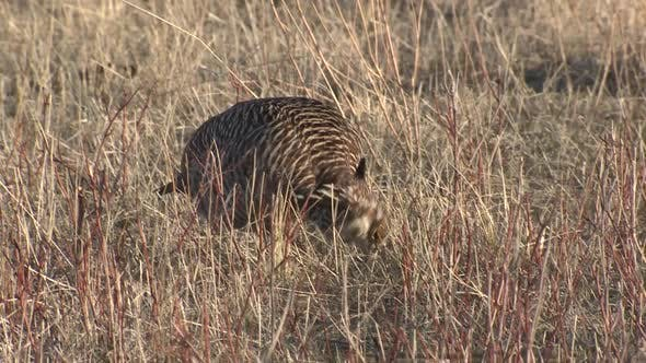 Thumbnail for Prairie Chicken Cock Male Lone Eating Feeding Spring in Fort Pierre National Grasslands South Dakota