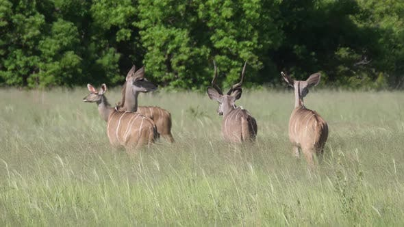 Greater kudu male and females at a grass field