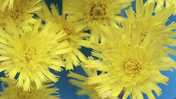 Wild Dandelion Flowers on a Blue Background