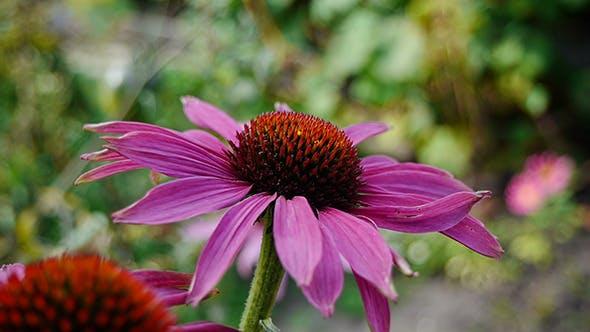 Thumbnail for Fading Summer Flower 5