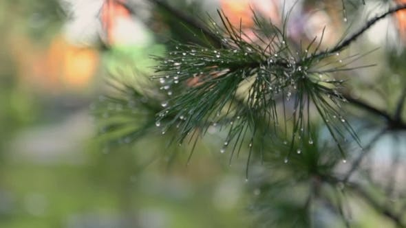 Cover Image for Wet Christmas Tree Branch