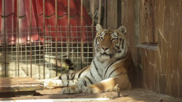 Thumbnail for Tiger Lying On Its Side In A Zoo