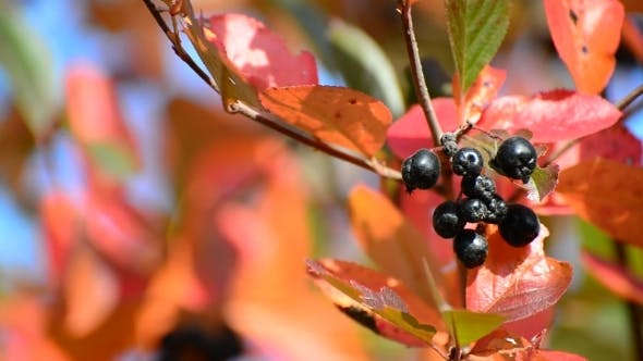 Cover Image for Aronia Autumn On a Sunny Day