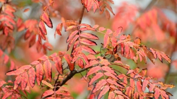 Cover Image for Red Rowan Leaves Of Autumn