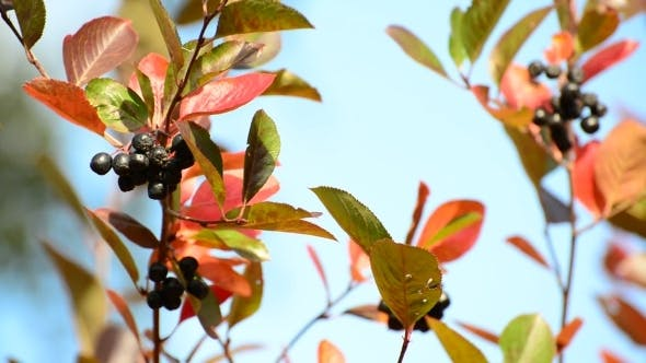 Thumbnail for Aronia Autumn On a Sunny Day