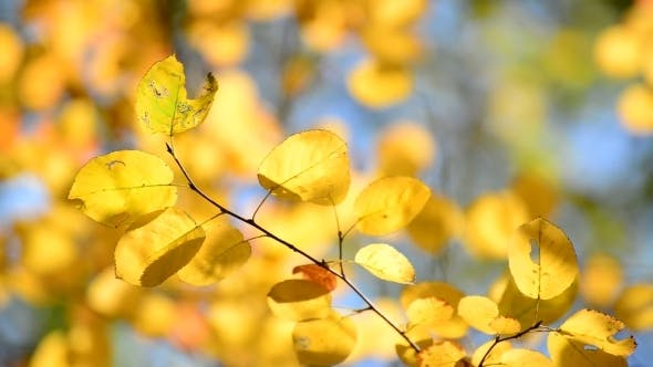 Beautiful Yellow Autumn Leaves Backlit