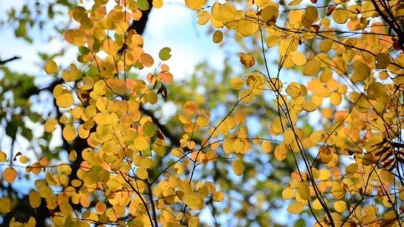Thumbnail for Beautiful Yellow Autumn Leaves Backlit