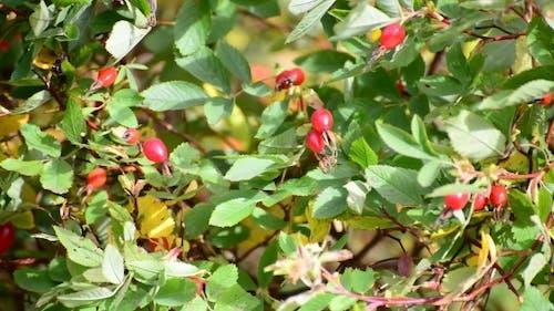 Red Berries Of Wild Rose In  Wind