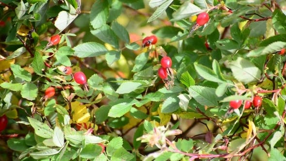 Cover Image for Red Berries Of Wild Rose In  Wind