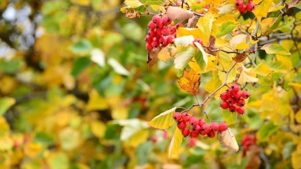 Thumbnail for Hawthorn Autumn With Berries And Yellow Leaves