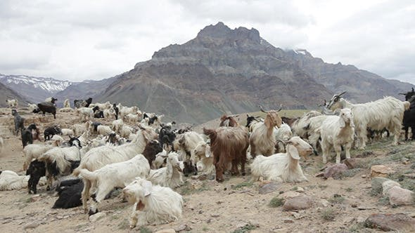 Mountain Goats Spiti Valley