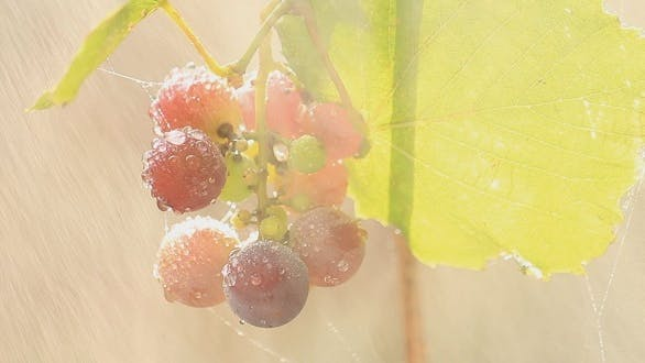 Thumbnail for Grapes in The Rain 2