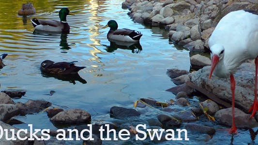 Thumbnail for Ducks and the Swan