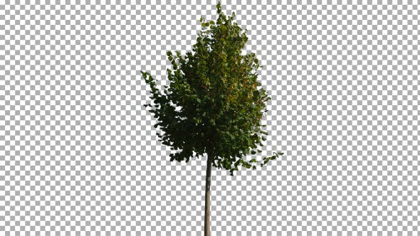 Cover Image for Real Tree Isolated on the Wind 13