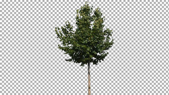 Thumbnail for Real Tree Isolated on the Wind 15