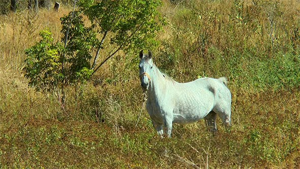 Thumbnail for White Horse Tethered in a Dry Grass