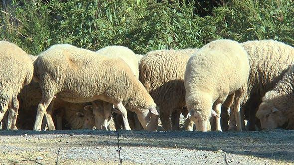 Sheep Gather Food