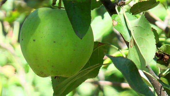 Thumbnail for Green Apple Among Leaves