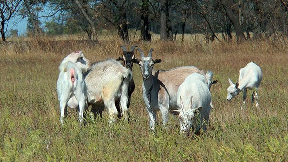 Goats Grazing in the Dry Grass