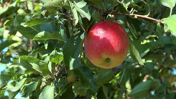 Cover Image for Red Apple on a Branch