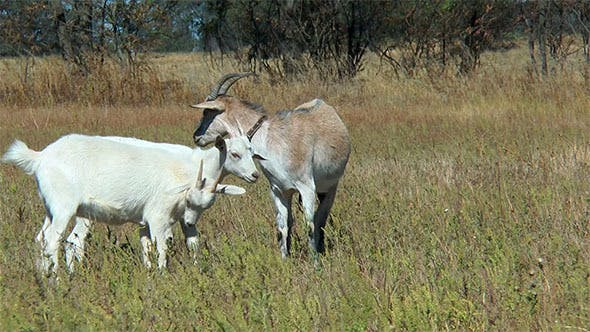 Cover Image for Goat on a Leash and Goats