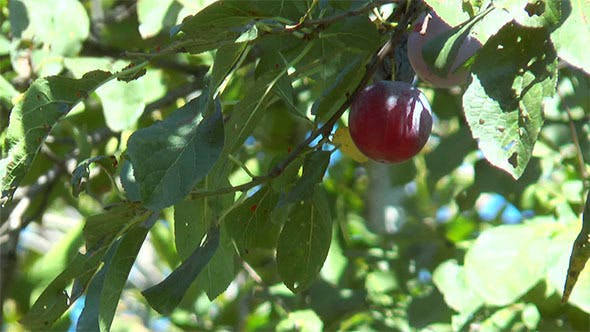 Thumbnail for Ripe Plums Are Among Leaves