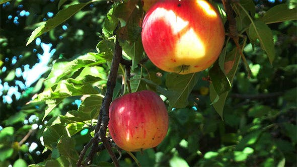 Thumbnail for Branch With Ripe Apples