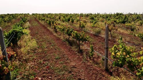Rows of Grapevines Growing in Rural Countryside