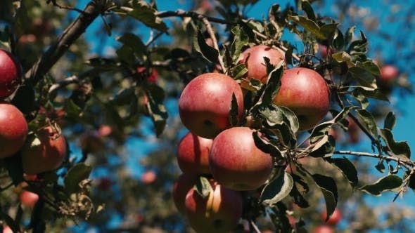 Thumbnail for Red Juicy Apples Grow On Trees