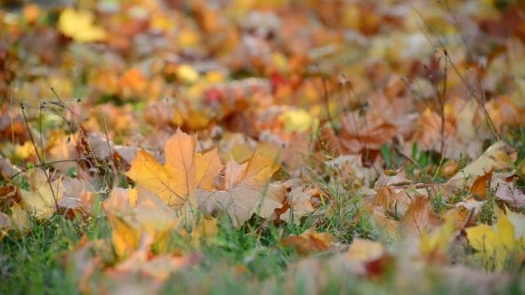 Thumbnail for Autumn Maple Leaves On  Ground