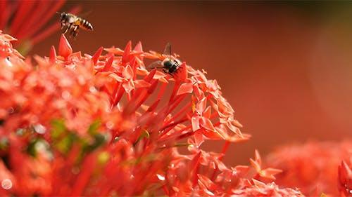 Bee and Ixora Flower