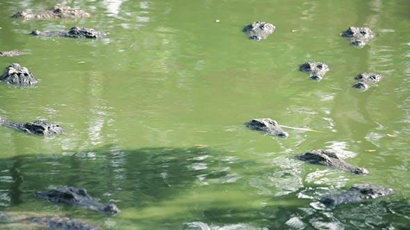 Thumbnail for Crocodile Alligator